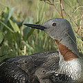 Red-throated Loon With Day Old Chicks Poster by Michael Quinton