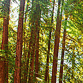 Redwood Wall Mural Panel 1 Print by Artist and Photographer Laura Wrede