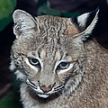 Reflective Bobcat by John Haldane