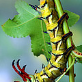 Regal Moth Caterpillar Poster by Robert Jensen