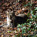 Relaxing Male Bobcat Print by Eva Thomas