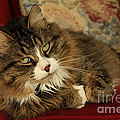 Rescue Cat Living in the Lap of Luxury Print by Inspired Nature Photography By Shelley Myke