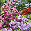 Rhododendron Garden Poster by Frank Tschakert
