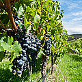 Ripe grapes right before harvest in the summer sun Poster by Ulrich Schade
