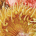 Rise and Shine Sea Anemone- Pictures of Sea Creatures - Sea Anenome  Print by Artist and Photographer Laura Wrede