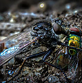 Robber Fly Eating Green Bottle Fly Print by Bob Orsillo