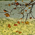 Robin In maple Print by Carolyn Doe