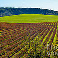 Rolling Hills and Vineyards Poster by CML Brown