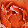 Rose Abstract Poster by Rona Black