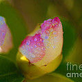 Rose Bud Print by Cheryl Young