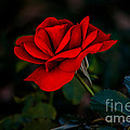 Rose Is A Rose Print by Robert Bales