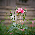 Rose of Independence Print by Linda Unger