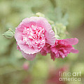 Rose of Sharon Print by Kay Pickens