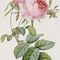 Rose Print by Pierre Joesph Redoute