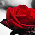 Rosey Red Poster by Kaye Menner