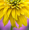 Rudbeckia Cherokee Sunset Flower Print by Tim Gainey