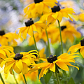 Rudbeckia Fulgida Goldsturm Print by Tim Gainey