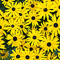 Rudbeckia Fulgida 'Pot Of Gold'  Print by Tim Gainey