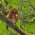 Rufous Morph Costa Rican Pygmy-Owl Poster by Tony Beck