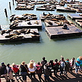 San Francisco Pier 39 Sea Lions 5D26111 Print by Wingsdomain Art and Photography