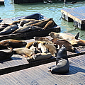 San Francisco Pier 39 Sea Lions 5D26113 Print by Wingsdomain Art and Photography