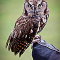 Screech Owl Perched Poster by Athena Mckinzie