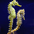 Sea horse Poster by Boon Mee