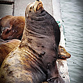 Sea Lion Print by Robert Bales