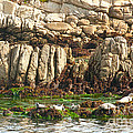 Sea lions in Monterey Bay Print by Artist and Photographer Laura Wrede