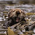 Sea Otters Print by Ron Sanford