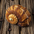 Sea snail shell on old wood Print by Garry Gay