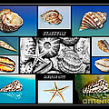 Seashell Collection Poster by Kaye Menner