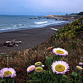 Seaside Daisies on Moonstone Beach Poster by Kathy Yates