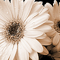 Sepia Gerber Daisy Flowers Poster by Jennie Marie Schell