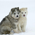 Siberian Husky Puppies Poster by M. Watson