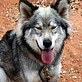Siberian Husky With Blue and Brown Eyes Print by Michael Braham