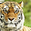 Siberian Tiger Beautiful closeup Poster by Boon Mee