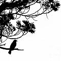 Silhouette of singing Common Blackbird in a tree Print by Stephan Pietzko