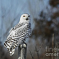 Sitting on the Fence- Snowy Owl Perched Poster by Inspired Nature Photography By Shelley Myke