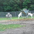 Six Flags Great Adventure - Animal Park - 121247 Print by DC Photographer