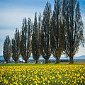 Skagit Trees Print by Inge Johnsson