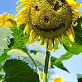 Smiling Sunflower Print by Donna Doherty