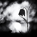 Snakes Head Fritillary Monochrome Print by Tim Gainey