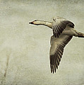 Snow Goose in Flight Poster by Jeff Swanson