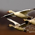 Snow Goose Migration Poster by Robert Frederick
