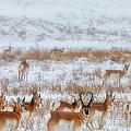 Snow Grazers Print by Darren  White