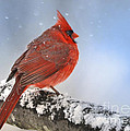 Snowing on Red Cardinal Poster by Nava  Thompson