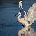 Snowy Egret Frolicking in the Water Print by Andres Leon