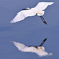 Snowy Egret in Flight Poster by Robert Jensen