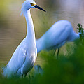 Snowy Egret on a lush green foreground Print by Andres Leon